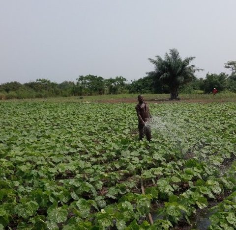 A farmer irrigating crops, Mankessim irrigation scheme project