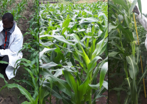 Gilbert Osei measuring crop growth at CSIR-IIR