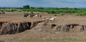 Goats walking across bare soil on grazing land where gullies are forming