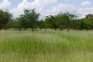 Thick grass growing with small trees on well managed land