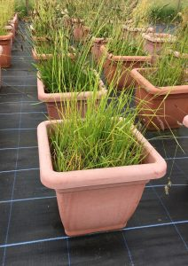 Experiment growing different plant samples near Lancaster, UK