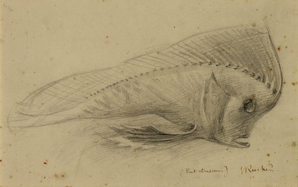 An image of a 'Study of a Stuffed Fish, British Museum' (1870), by John Ruskin