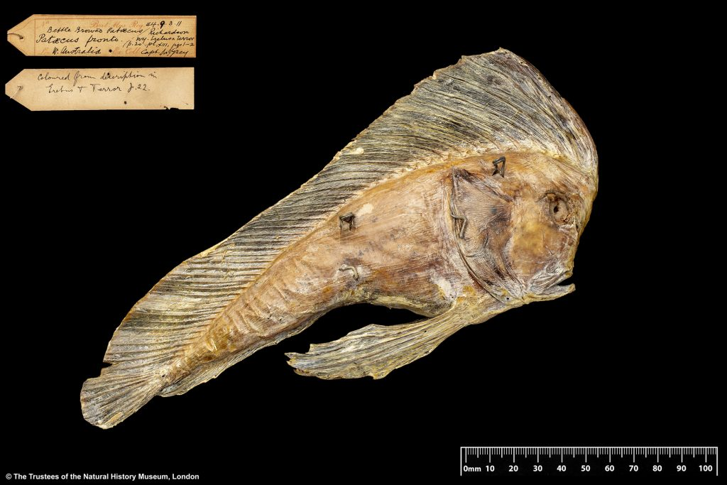 Photograph of the prowfish specimen Ruskin sketched