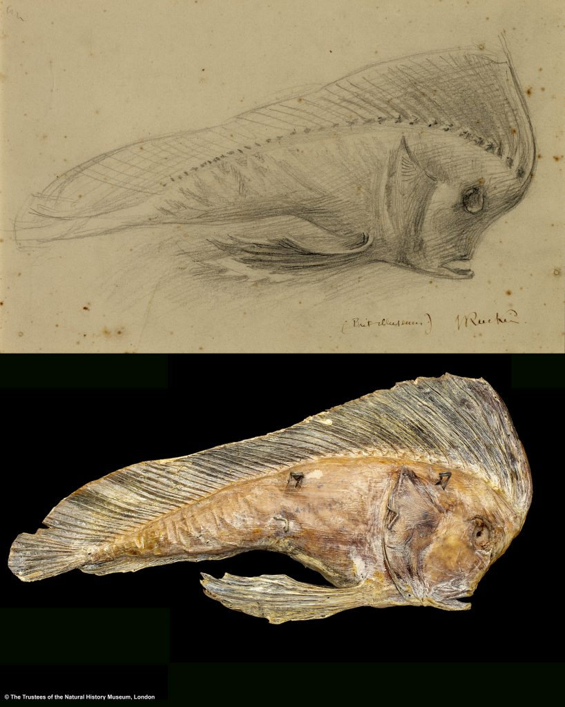 An image of Ruskin's drawing and the Pataecus fronto type specimen