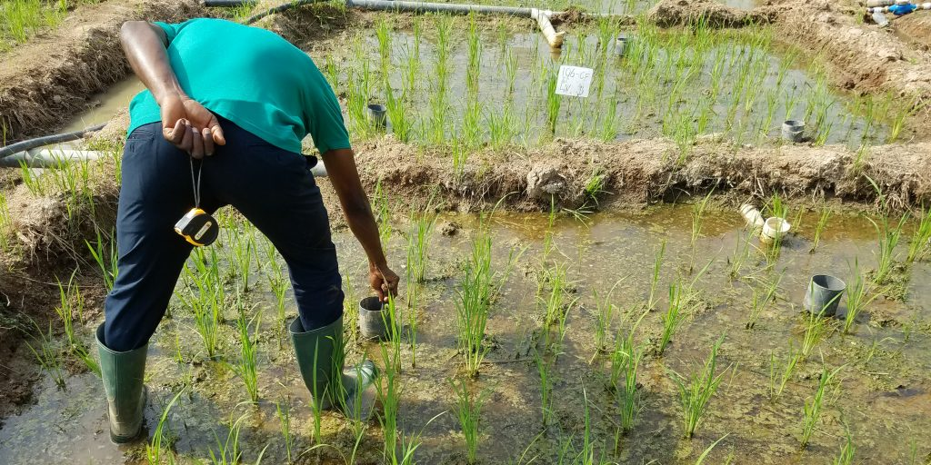 Rice field trails