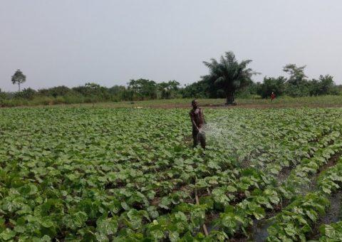 A farmer irrigating crops, Mankessim irrigation scheme project